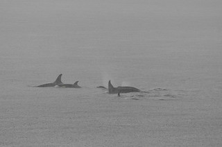 _BRK2573 Killer Whale (Orca) Pod through rain | by kasio69