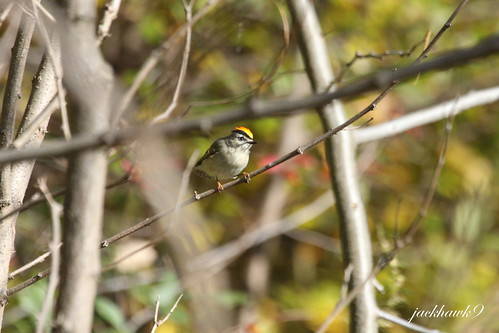 """Golden-crowned Kinglet"" ""Regulus satrapa"""