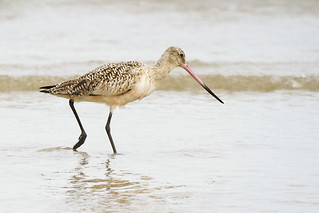 Marbled Godwit | by A. Jaszlics