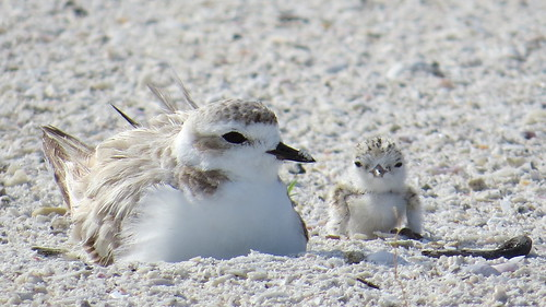 Snowy Plover Mother & Chick | by MyFWCmedia