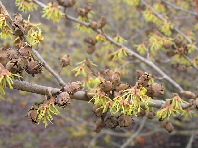 Hamamelis japonica 'Zuccariniana'