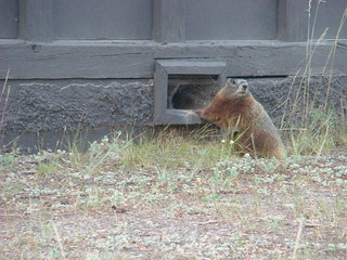 101 Marmot