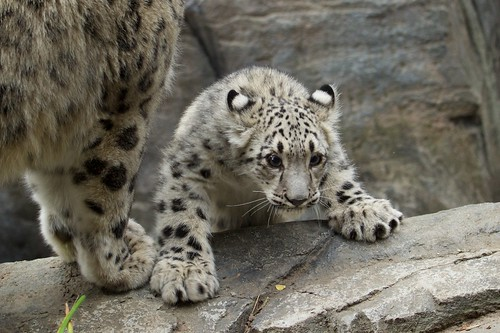 Snow Leopard Cubs | New at the Central Park Zoo | Alex ...