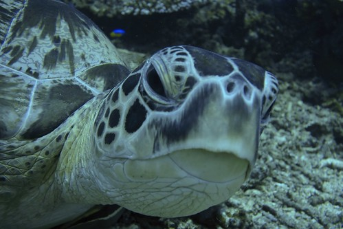 Green turtle at armslength | by jkwchui