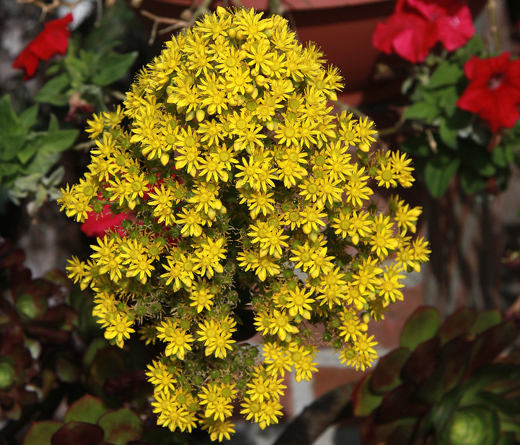 Yellow flower cluster on a aeonium arboreum succulent flickr by handsoff yellow flower cluster on a aeonium arboreum succulent by handsoff mightylinksfo