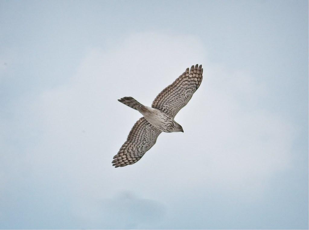 Intruding Cooper's hawk