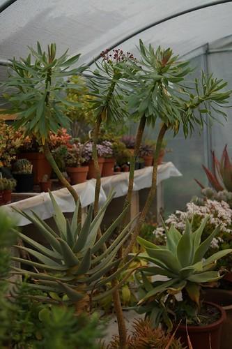 Euphorbia atropurpurea  33111190032_928c81d978