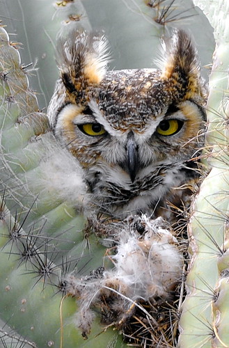 Owl Nesting at Rovers Roost RV Park, Casa Grande, Arizona