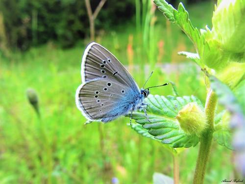 Butterfly 1185