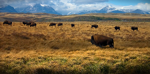 Bison grazing on the Browning reservation near East Glacier, MT | by U.S. Department of the Interior