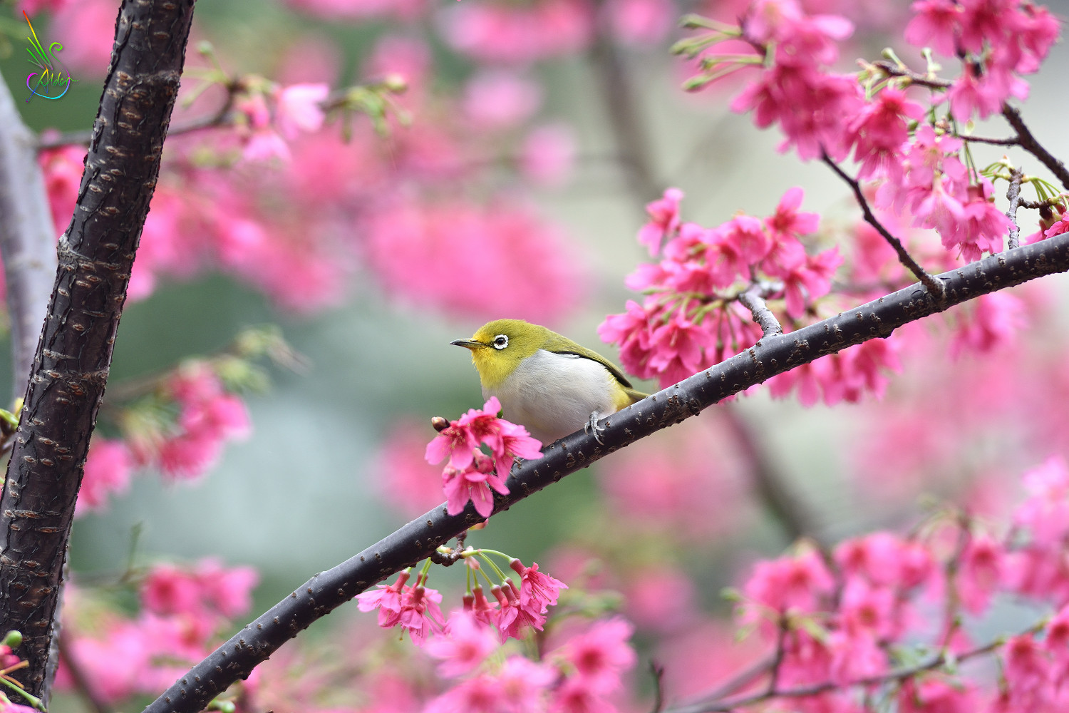Sakura_White-eye_5959