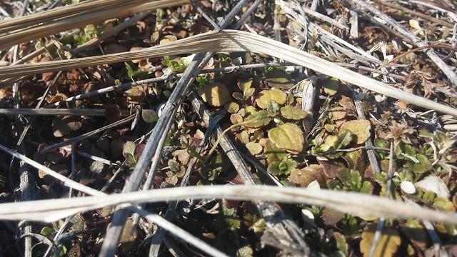 동네한바퀴 | 큰봄까치꽃(큰개불알풀꽃)