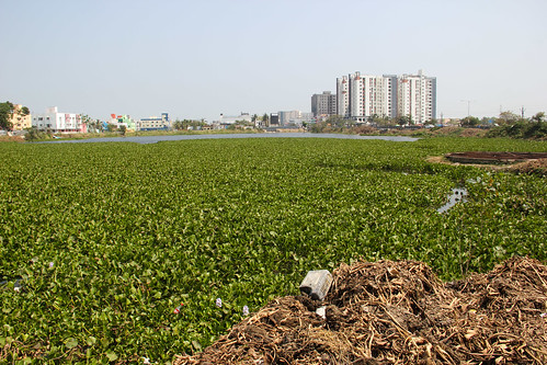 The lake infested with invasive water hyacinth.