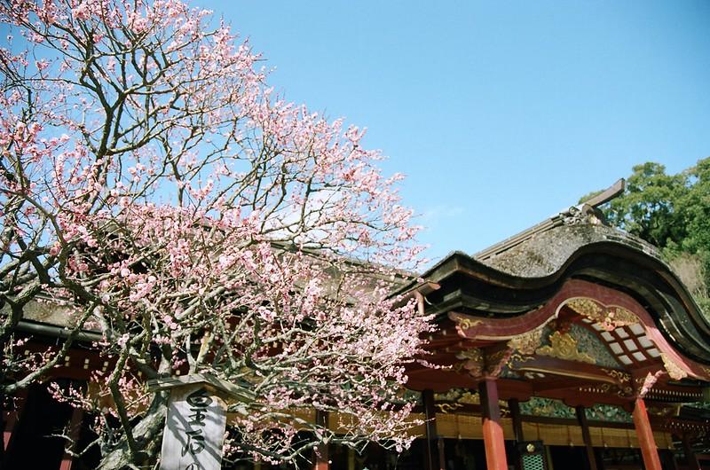 太宰府天満宮の拝殿と梅の花