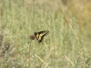 41 Vlinder - Anise swallowtail