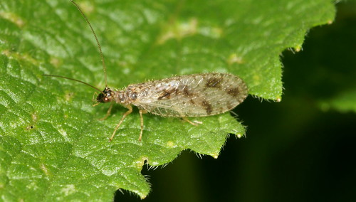 Brown Lacewing On Vancouver Island Pics