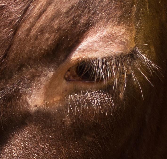 Eyelashes Long Eyelashes Of A Cow Tom Ballard2009 Flickr