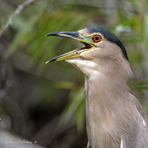 Black-crowned Night Heron portrait | by D. C. Peters