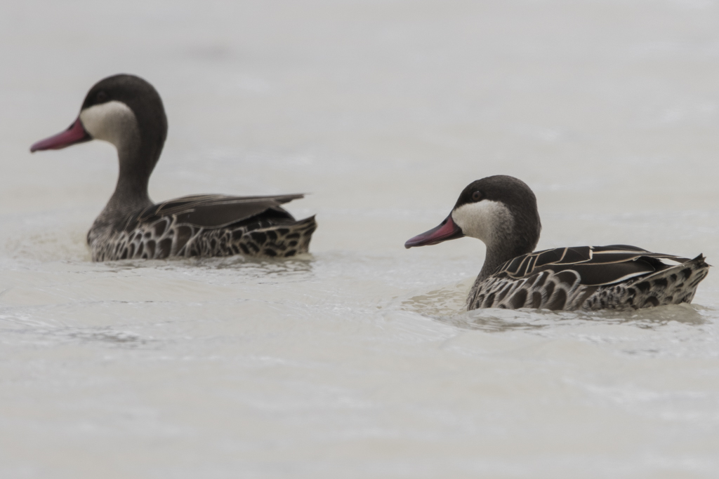 Red-billed Teal  Anas Erythrorhyncha