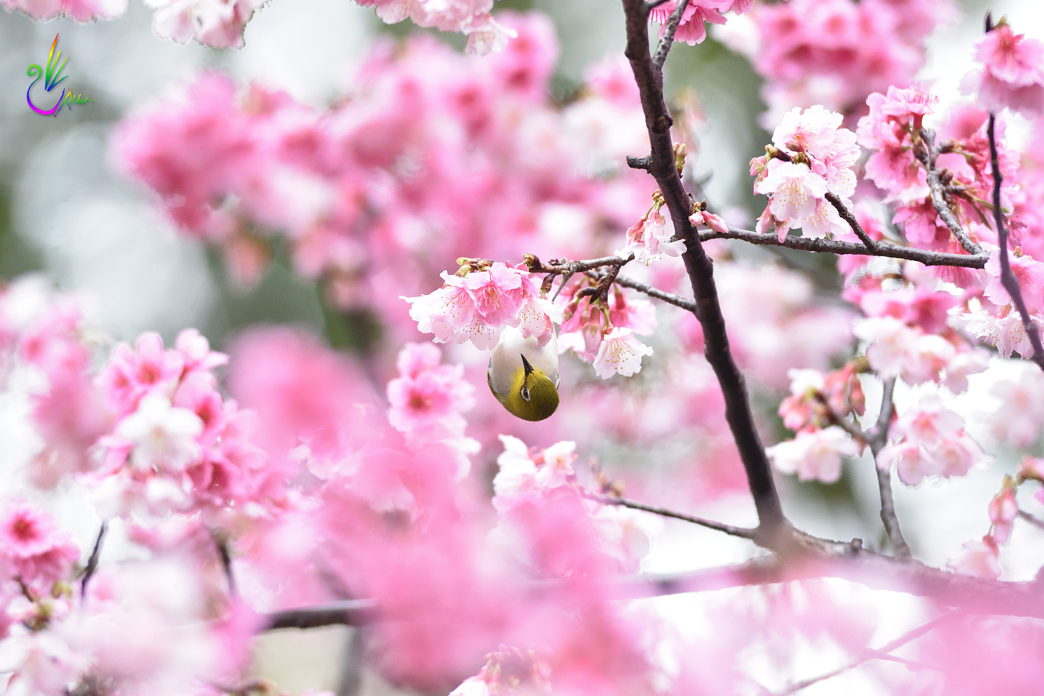 Sakura_White-eye_1531