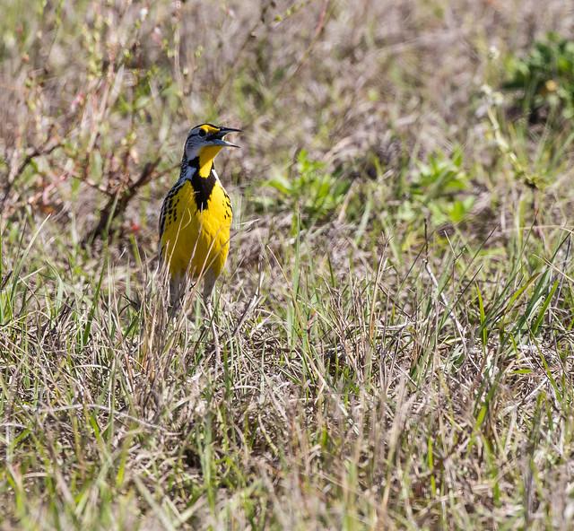 Eastern Meadowlark 095a_3250