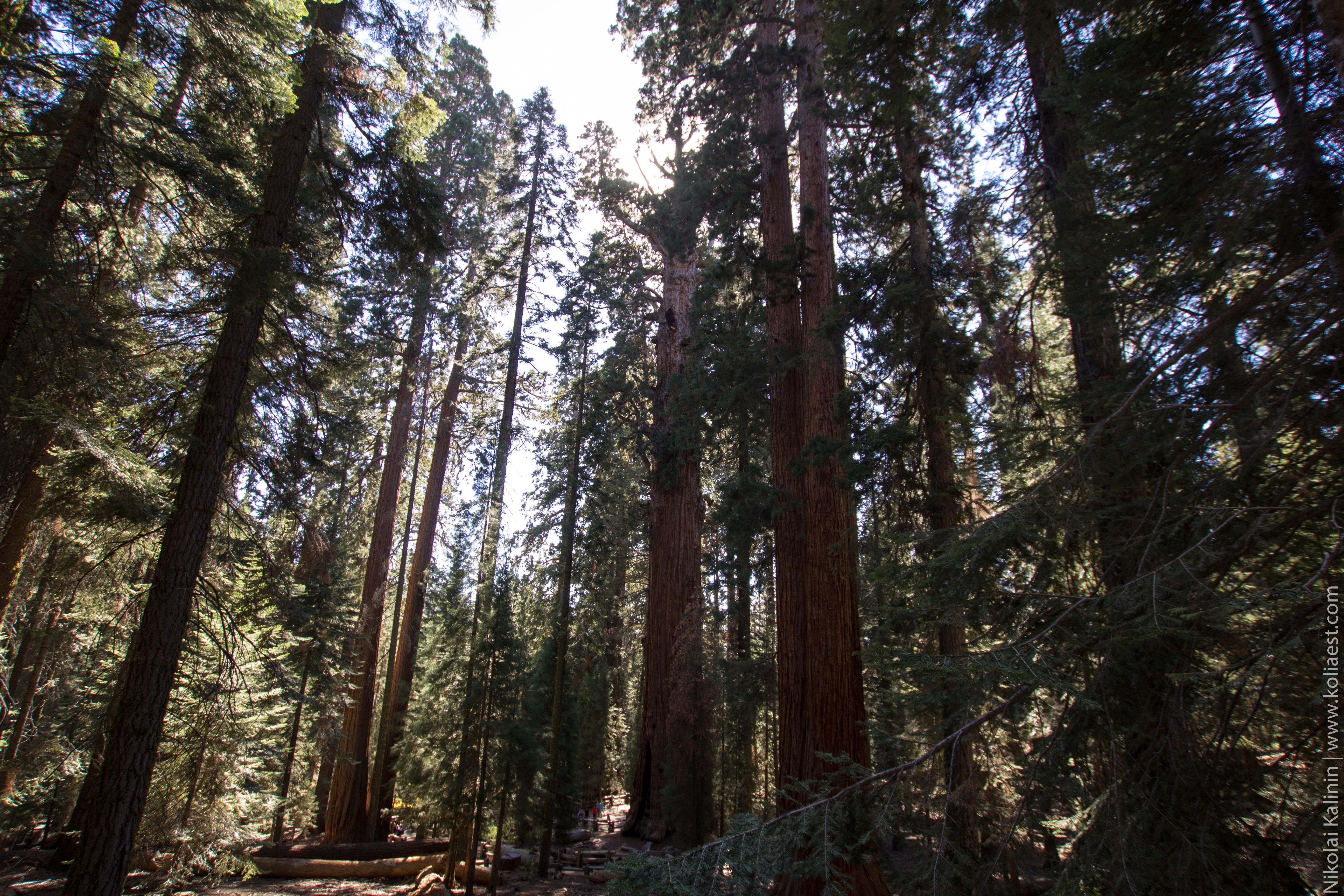 Sequoia-86