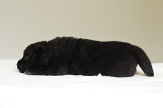 Nami-Litter1-Day10-Puppy5-Male-3 | by brada1878