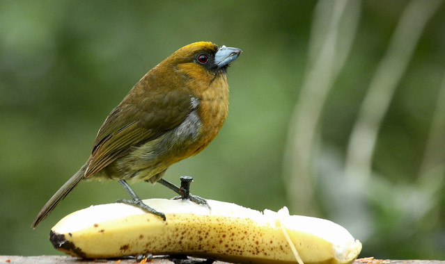 Prong billed barbet. Defending one banana!