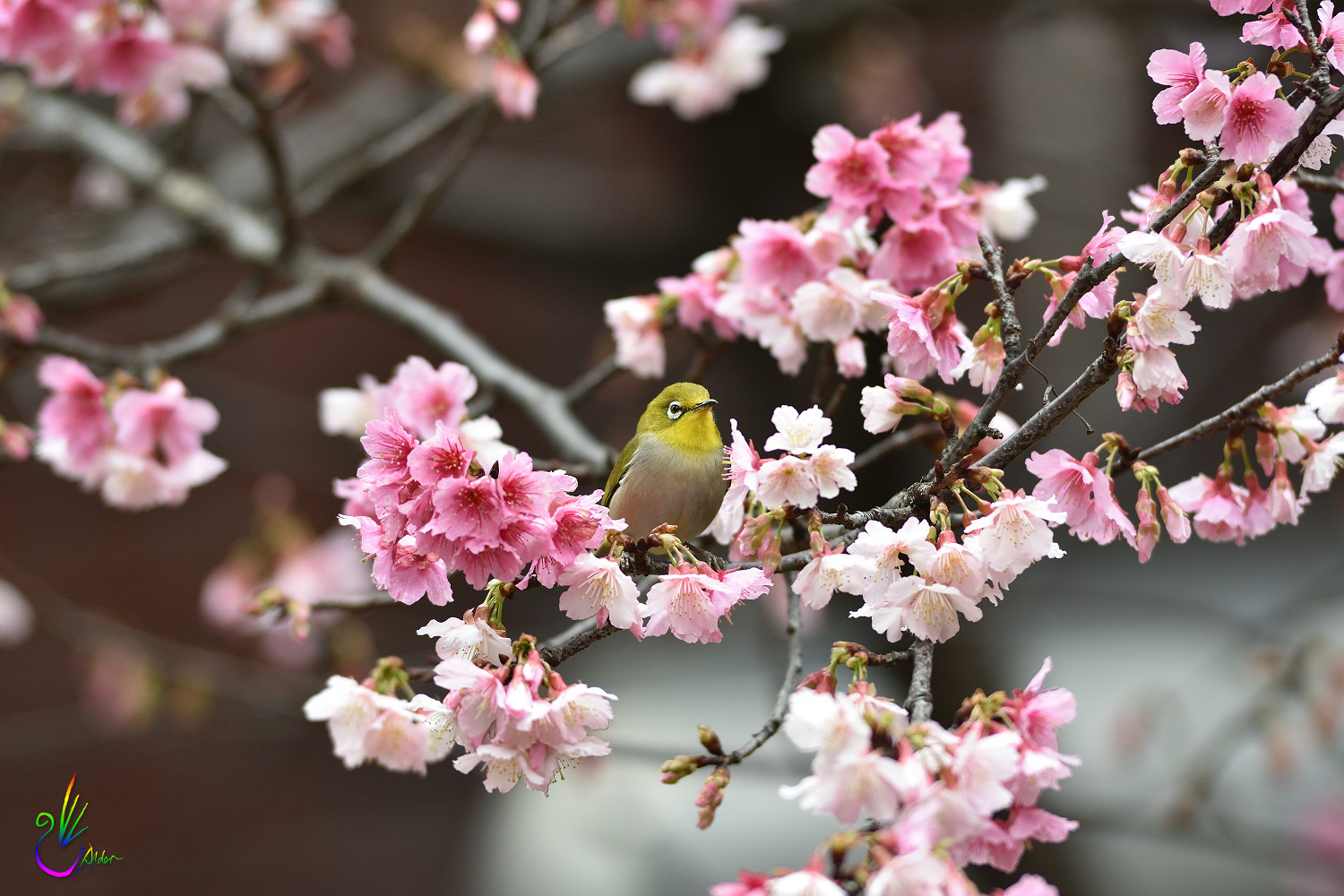 Sakura_White-eye_0514