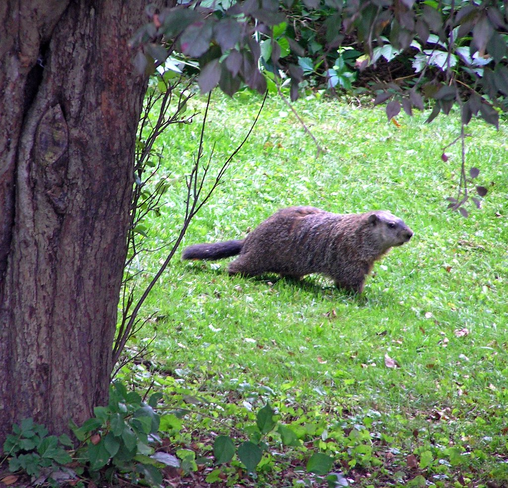 Groundhog In Backyard | Homideal