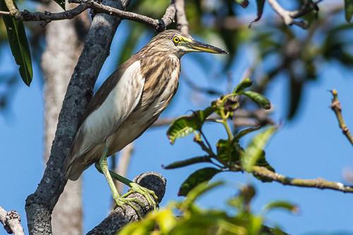 Juvenile Striated Heron ? or Yellow Bittern ?
