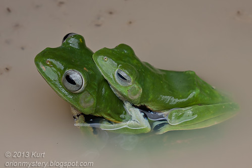 Norhayati's Flying Frog IMG_3480 copy | by Kurt (OrionHerpAdventure.com)