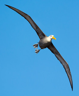Galapagos Albatross on Española Island | by Ferdi's - World