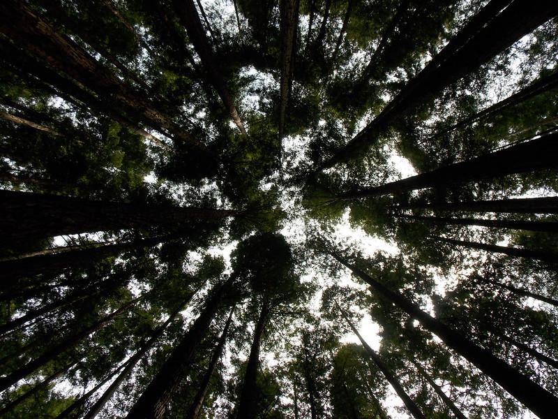 Secuoyas / Sequoias