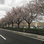 桜満開 千谷工業団地