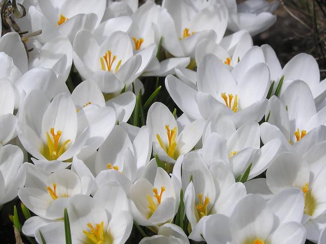 Crocus crysanthus 'Ard Schenk'