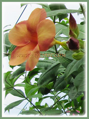 Allamanda cathartica cv. Indonesia Sunset (Peach-coloured Allamanda) with trumpet-shaped flower and buds, 27 Oct 2009