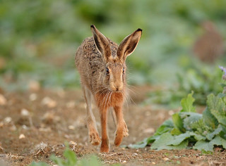 Brown Hare running in afternoon light Lepus europaeus | by mikejrae