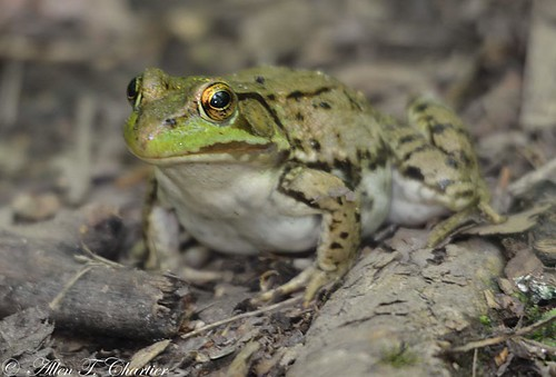 Rana clamitans (Green Frog)