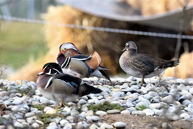 Ducks 07.03 (9)