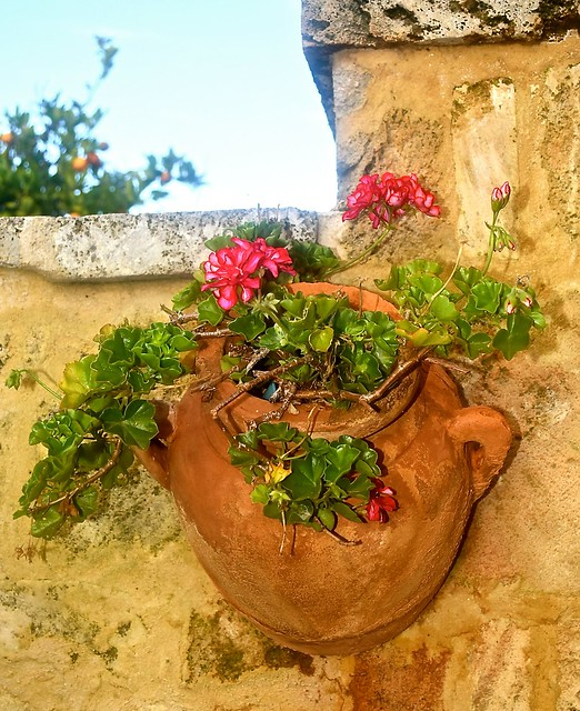 A potted geranium in our back garden, 16 February 2017