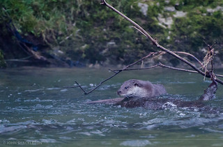 Otter / Nutria (Lutra lutra) | by john_shackleton