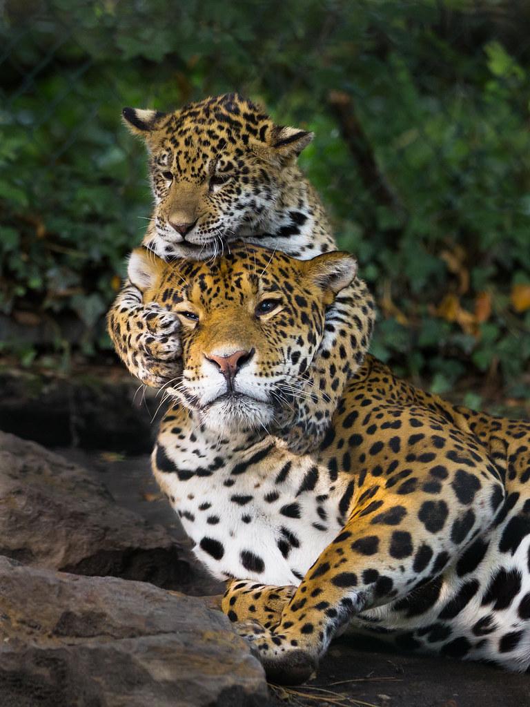 Jaguar cub attacks mother | John van Beers | Flickr