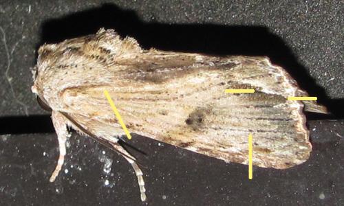 Spodoptera eridania_7109_marks
