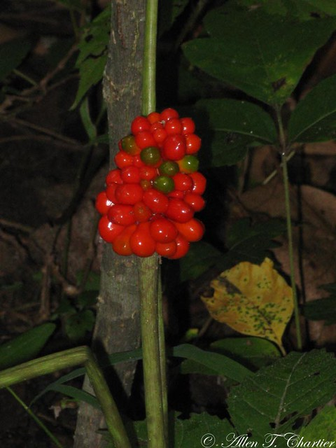Arisaema atrorubens (Jack-in-the-Pulpit)