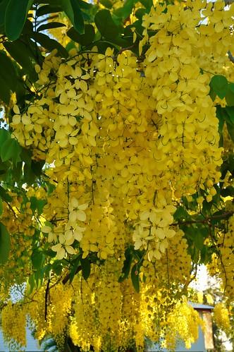Cassia fistula 4 karl gercens flickr - Trees that bloom yellow flowers ...