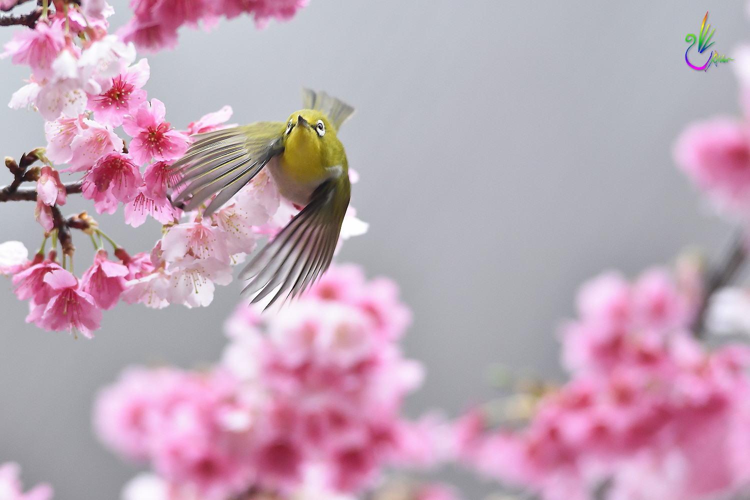 Sakura_White-eye_1539