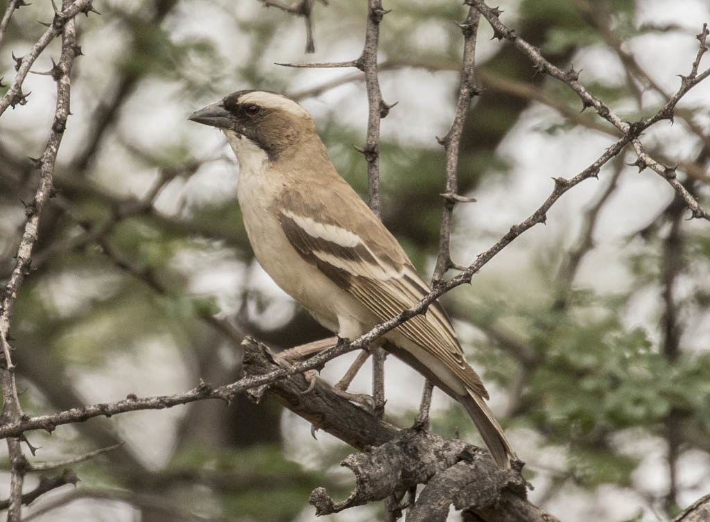 White-browed Sparrow-weaver    Placepasser Mahali