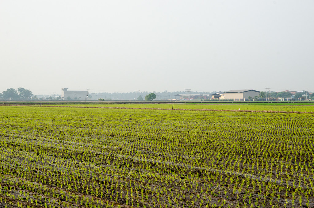 Paddy Field at Sekinchan
