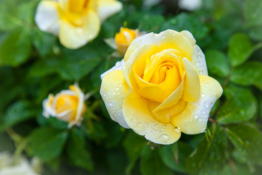 Image result for yellow rose